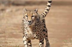 Ćwiczyć geparda: zwalniający puszek po gonić nęcenie Zdjęcie Stock