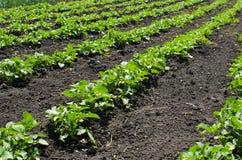 Łóżka wstępujący potatoesBeds wstępujące grule agronomia Zdjęcie Stock