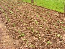 Łóżka z truskawką i czosnkiem w wiosna ogródzie, truskawkowi krzaki r w ogródzie Zdjęcia Stock
