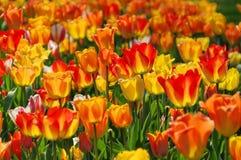 Łóżko tulipany w czerwieni i kolorze żółtym Fotografia Royalty Free