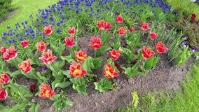 Łóżko z tulipanami i Błękitnym Muscari zbiory wideo