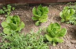 Łóżko z zielonej sałatki i rakiety roślinami obrazy royalty free
