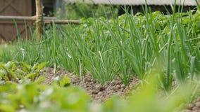 Łóżko zielone cebule w ogródzie zdjęcie wideo