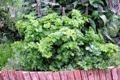 łóżkowy ogrodowy kuchenny persley Obrazy Royalty Free