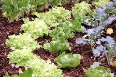 łóżkowy ogrodowy warzywo Zdjęcie Royalty Free