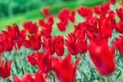 łóżkowy wczesny kwiatu czerwonej wiosna tulipan Obrazy Royalty Free