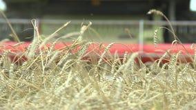 Łącznie z kosiami dojrzałych uszu pszenicy, letnimi uprawami chleba, zbliżenie zbiory wideo
