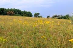 Łąka żółci dzicy kwiaty Obraz Stock