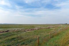 Łąka cakle w zatoce Somme Zdjęcie Royalty Free
