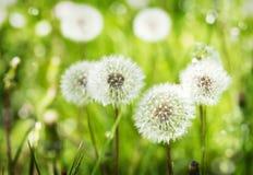 Łąka dandelions zdjęcie stock