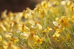 Łąka kolor żółty Fotografia Stock