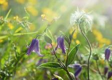 Łąka kwiaty - purpurowi dzwony Zdjęcia Stock
