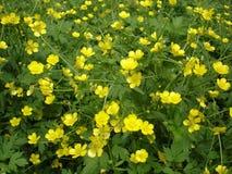 Łąka kwitnący jaskieru koloru żółtego kwiaty Obraz Royalty Free