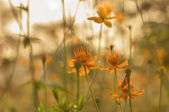 Łąka kwitnie przy lato wieczór Fotografia Stock