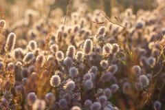 Łąka kwitnie w polu przy świtem Fotografia Stock