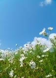 Łąka kwitnie z niebieskim niebem Zdjęcia Royalty Free
