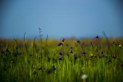 Łąka małe purpury kwitnie przy Kaas plateau lokalizującym w maharashtra, India zdjęcia stock