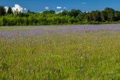 Łąka miejscowego Camas rośliny Zdjęcie Royalty Free