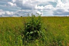 Łąka na wzgórzu z świrzepa krzakiem Obraz Stock