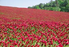 Łąka pełno Włoskiej koniczyny Trifolium incarnatum rośliny Zdjęcia Stock