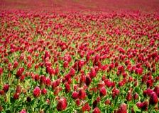 Łąka pełno Włoskiej koniczyny Trifolium incarnatum rośliny Zdjęcie Royalty Free