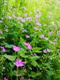 Łąka różowi kwiaty Fotografia Royalty Free