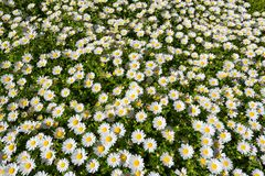 Łąka rumianki, natury tło Fotografia Stock