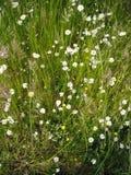 Łąka stokrotki w wiosna czasie Obraz Stock