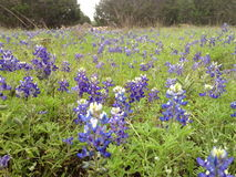 Łąka Teksas Bluebonnets w wiośnie - Wimberley, Teksas zdjęcia royalty free