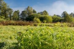 Łąka w ranku słońcu fotografia stock