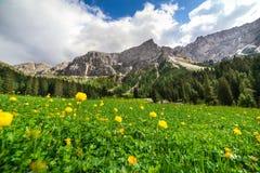 Łąka z żółtymi kula ziemska kwiatami w dolomitach fotografia stock