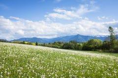 Łąka z białymi dandelions Zdjęcia Stock