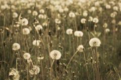 Łąka z białymi dandelions Zdjęcie Stock