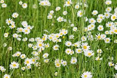 Łąka z białymi stokrotkami Zdjęcie Stock
