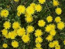 Łąka z dandelion kwiatami Zdjęcia Royalty Free