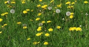 Łąka z Dandelion Kwitnie, taraxacum officinale, Normandy w Francja, zwolnione tempo zbiory
