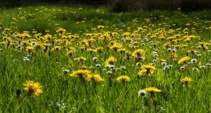 Łąka z Dandelion stokrotkami i kwiatami fotografia stock