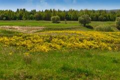 Łąka z kolorów żółtych kwiatami i zieloną trawą Fotografia Royalty Free