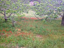 Łąka z maczkami Zdjęcie Royalty Free