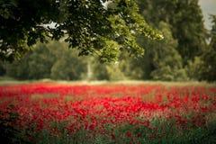 Czerwoni maczków kwiaty fotografia royalty free