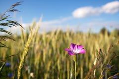 Łąka z purpura kwiatem Obrazy Stock