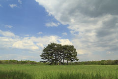 Łąka z sosnami zdjęcie stock
