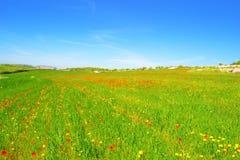 Łąka z trawą, maczkami i stokrotkami, Fotografia Royalty Free
