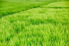 Łąki ryżowej trawy Zielony pole Obraz Stock