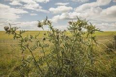 Łąki Salisbury równina oset roślina -/ fotografia royalty free
