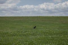 Łąki Salisbury równina wrona -/ obrazy stock
