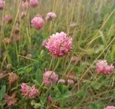 łąkowa koniczyna w polu zdjęcie royalty free