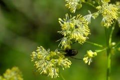 Łąkowa ruta dziki kwiat Obraz Stock