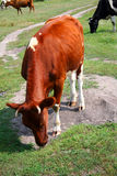 łąkowe krowy zdjęcie royalty free