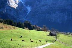 łąkowe krowy Zdjęcie Stock